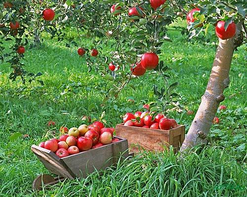 http://www.vancats.ru/images_Podvor/plodovie-derevya.jpg