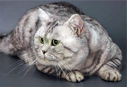 Порода кошек Британская короткошерстная, британская кошка, Британская короткошерстная кошка, британская порода кошек.
