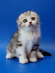 Породы кошек. короткошерстные. шотландская вислоухая кошка.