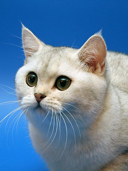 Британская кошка абиссинская кошка