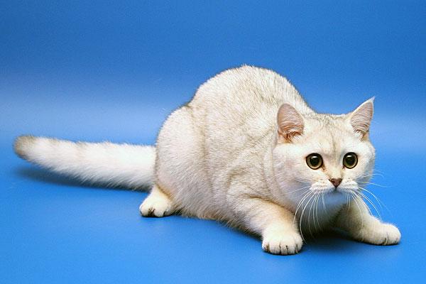 Британские шиншилы кошки британская