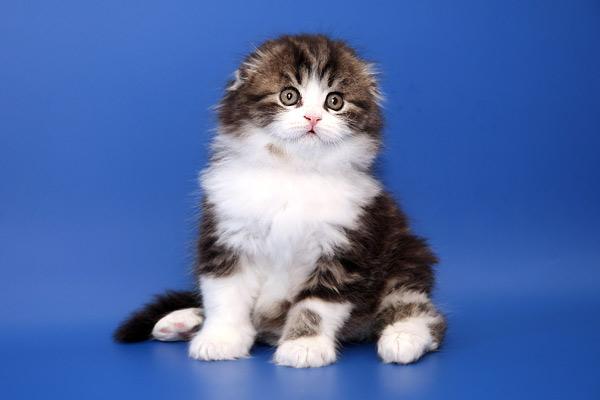 Породы кошек. котята шотландские вислоухие фото. шотландская вислоухая...