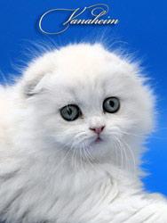 Шотландские вислоухие кошки.