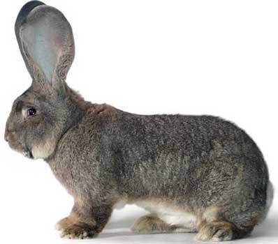 породы кроликов с фотографиями и названиями все