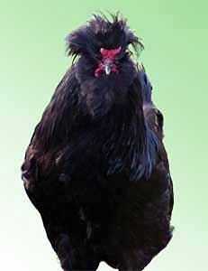 Порода кур Кревкер