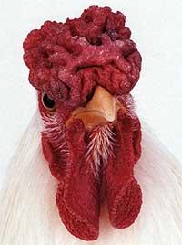Необычные и редкие породы кур, Куры редких пород