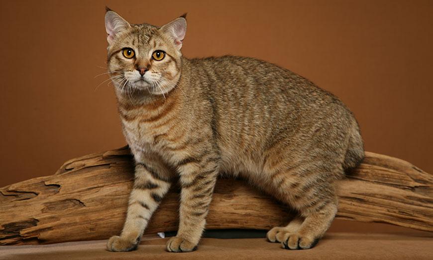 Кошка Пикси-Боб, Порода кошек Пикси-Боб, Пикси-Боб Кошка, Pixie-bob cat