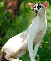 Коты с длинными ногами