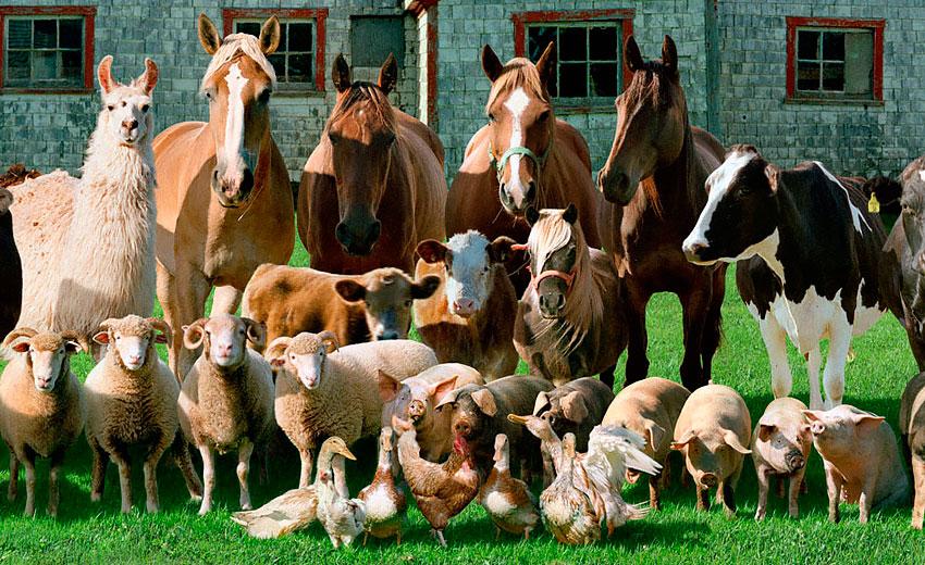 Овцы козы свиньи видэо часное подворье видэо фото 666-490