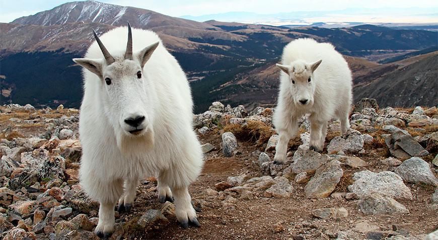 Овцы козы свиньи видэо часное подворье видэо фото 46-501