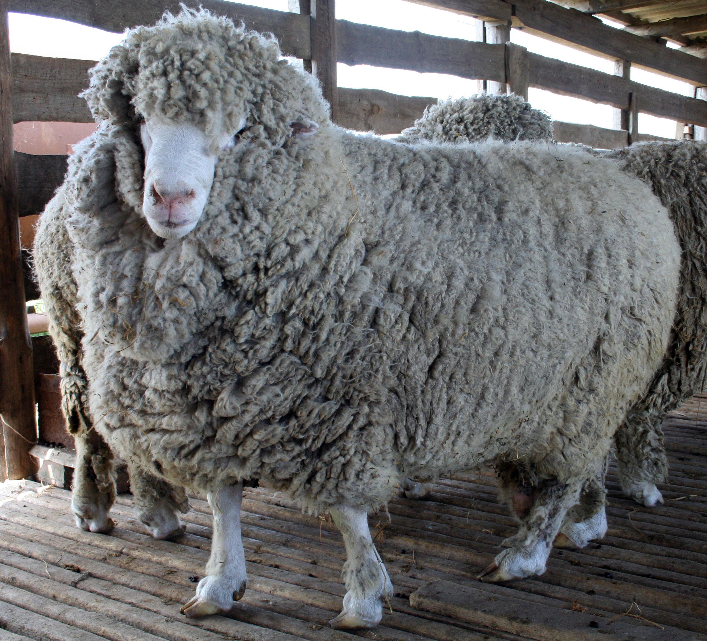 Продам у овецу волосе в удмуртии