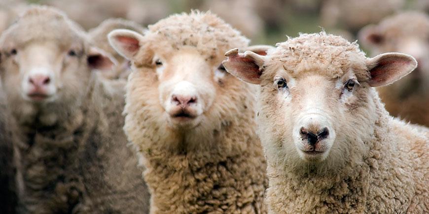 Ўкачать овцеводство игру