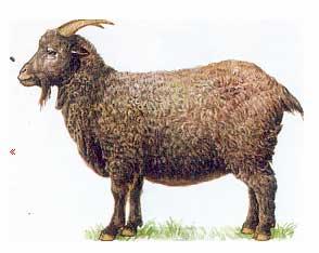 Козы породы Придонская, Придонские козы,Don Goats