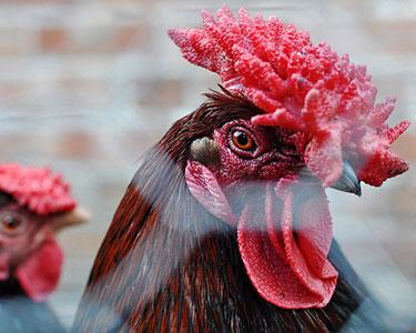 Порода кур Красношапочная