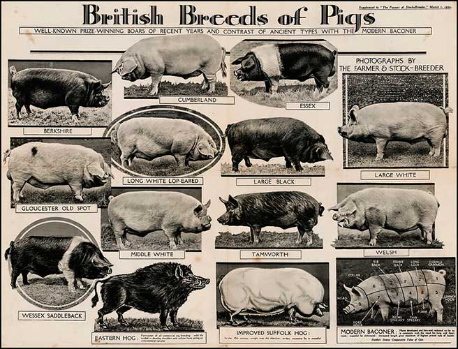 ������ ������, Breeds of Pigs