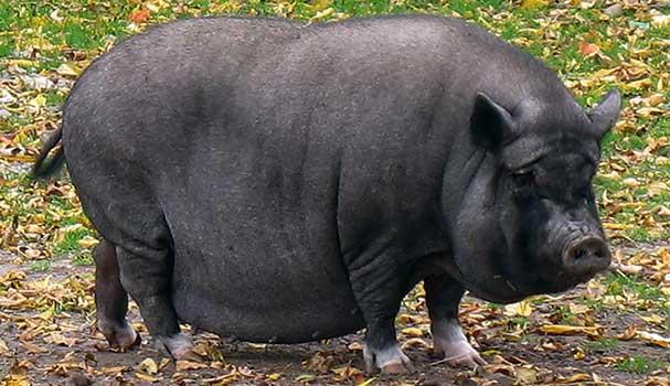 Порода свиней Вьетнамская вислобрюхая, Вьетнамские вислобрюхие свиньи, Травоядные свиньи, Vietnamese Potbellied Pigs, Vietnamese Potbelly Pigs
