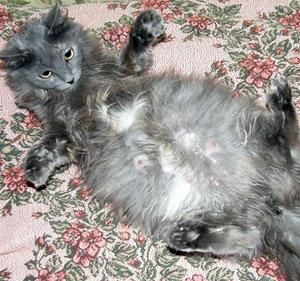 Сколько кошки носят беременность