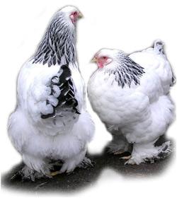 Породы кур